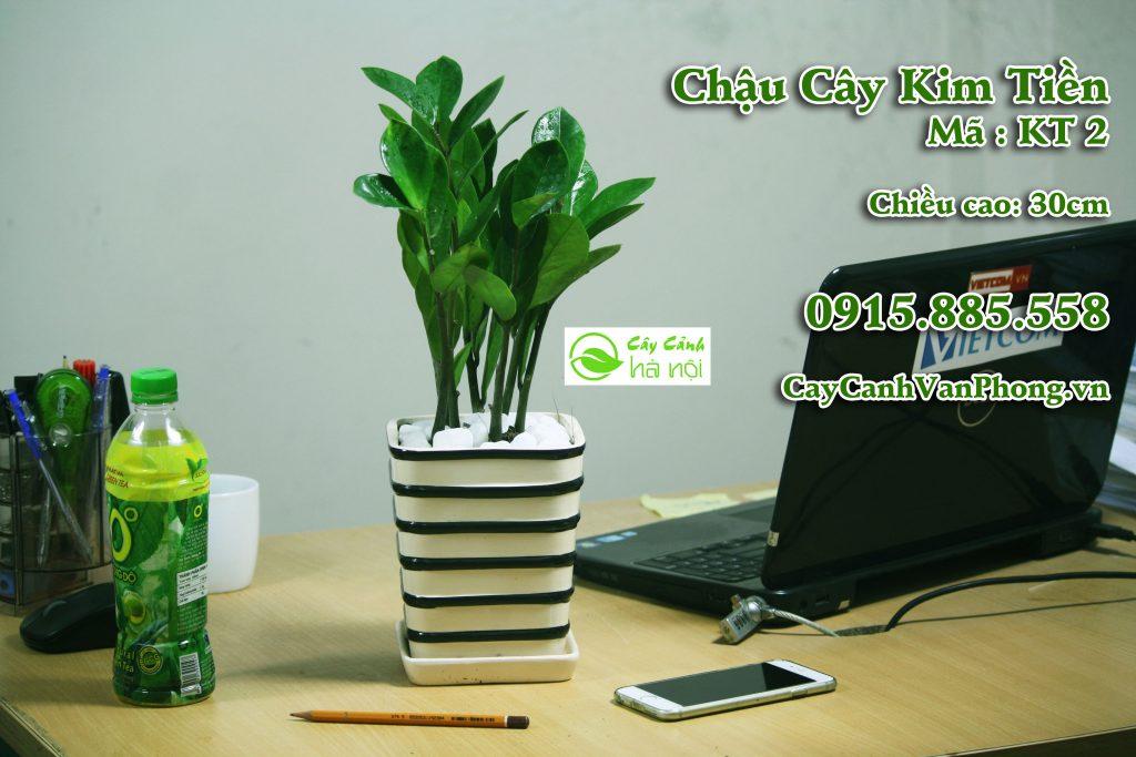 Kim Tiền là loại cây quen thuộc được trồng nhiều với ý nghĩa đem đến may mắn, tài lộc cho gia chủ