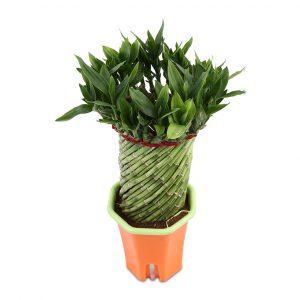Lưu ý khi chăm sóc Cây Phát Lộc là cây có thể sinh trưởng và phát triển tốt