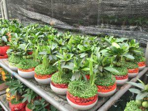 Cần có chế độ chăm sóc để cây sinh trưởng và phát triển tốt