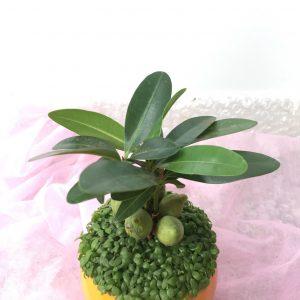Thường sử dụng cây để trang trí trên bàn làm việc, phòng khách hay bàn lễ tân