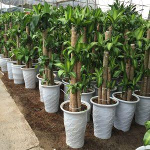 Một số lưu ý khi chăm sóc Cây Thiết Mộc Lan là cây có thể sinh trưởng và phát triển tốt