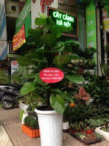 Lựa chọn cây làm quà tặng mang lại những điều tốt đẹp, sung túc cho gia chủ