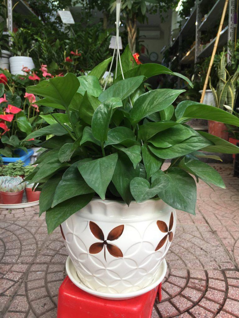 Cây thích hợp được trồng làm cây cảnh trong nhà, giúp thanh lọc không khí