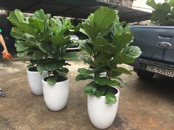 Cây bàng Singapore là một trong những loại cây cảnh nội thất được rất nhiều người ưa chuộng
