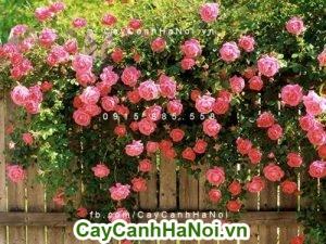 Hoa hồng leo giàn là loài cây chịu nắng tốt