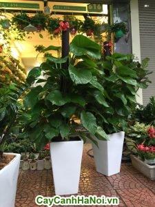 Đễ Vương là loài cây ưa ẩm, ưa bóng, thích hợp với những môi trường nhiều nắng