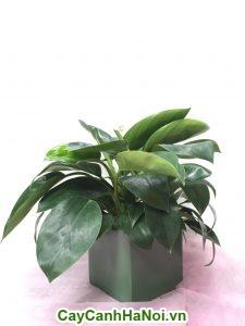 Cây Đễ Vương là loại cây để bàn vô cùng hoàn hảo, tạo cho bạn một không gian sống bắt mắt
