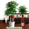 Hạn chế trồng cây trong nhà có mùi hương