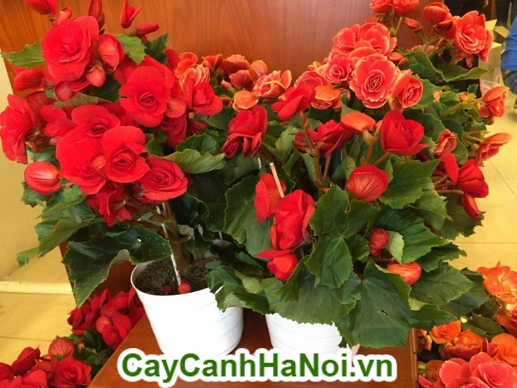 Không trồng cây hoa ban công quá cao, tán lá rộng