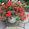 Hoa Dừa Cạn mang lại cho ngôi nhà của bạn cảm giác đầy sức sống, sang trọng.