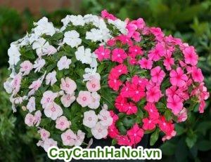 Trong dịp Tết những chậu hoa nở bay tung tăng sẽ mang lại cho gia chủ nhiều điều may mắn