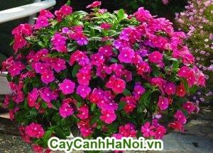 Hoa Dừa Cạn là 1 trong những loài hoa đẹp, nhiều màu sắc