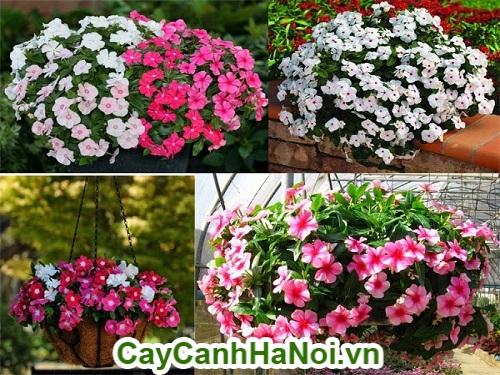 Loài hoa này có màu sắc rực rỡ, rất dễ trồng