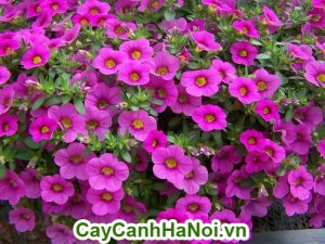 hoa Triệu Chuông có tác dụng đẩy lùi được bệnh tật