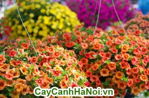 Là loài hoa được hình thành với hàng triệu chiếc chuông nhỏ đủ màu sắc.